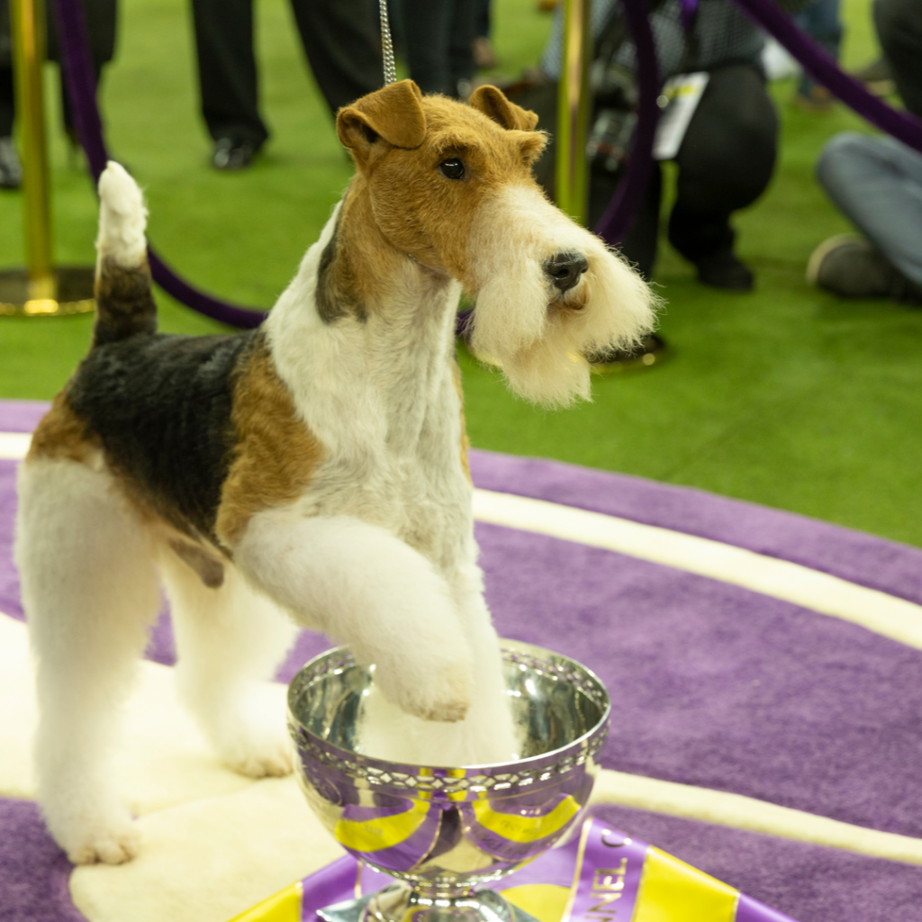 A proud dog accepts a trophy at a dog show.